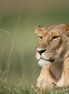 Peaceful Lioness