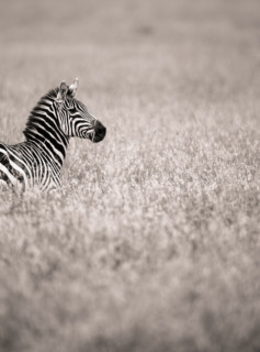 Lonely Zebra